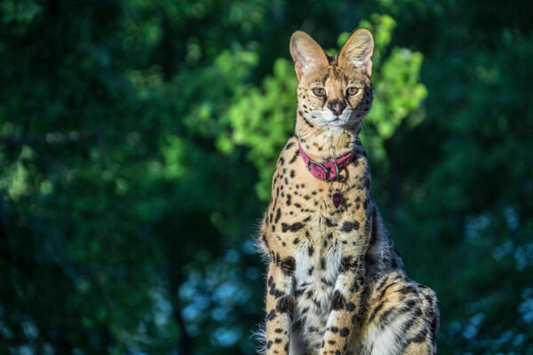 SERVAL CAT FOR SALE