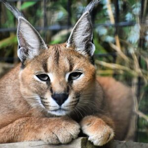 caracal cat for sale