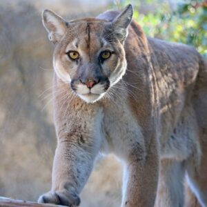mountain lion for sale